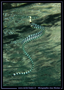 Sea snake--- by Michel Lonfat 
